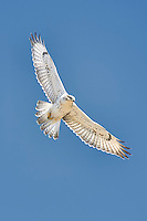 Juvenile Ferruginous Hawk in flight