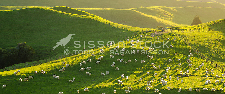 Sheep grazing on green hills, late afternoon, Taranaki, North Island, New Zealand