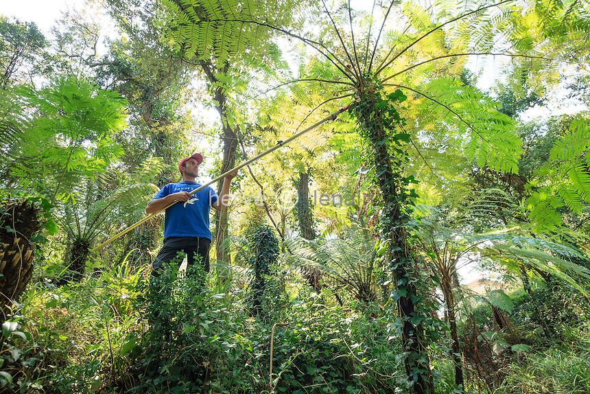 Le Domaine du Rayol:<br /> Morgan (model release), jardinier permanant, depuis 6 ans au Rayol, sp&eacute;cialiste de l'&eacute;lagage, ici dans le jardin de Nouvelle-Z&eacute;lande. Il taille &agrave; l'&eacute;chenilloire les frondes mortes des  foug&egrave;res arborescentes (ici Cyathea sp.).