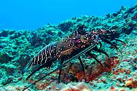 banded spiny lobster, Panulirus marginatus, endemic, Kure Atoll, Papahanaumokuakea Marine National Monument, Northwestern Hawaiian Islands, Hawaii, USA, Pacific Ocean