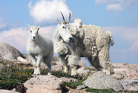 Mountain Goats (Oreamnos americanus). Nanny with her kid, which is about four months old. This herd was grazing at an elevation 13,700 ft. near the summit of Mount Evans. Arapaho National Forest. Clear Creek Co., Colo.