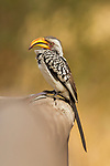 Southern Yellow-billed Hornbill (Tockus leucomelas) female, Kruger National Park, South Africa