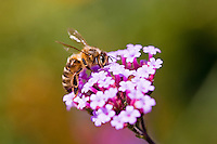 Honey bee gathering nectar from Verbena bonariensis flower