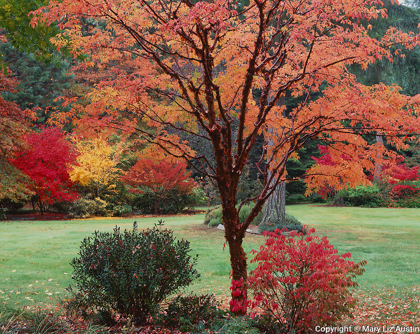 Vashon Island, WA<br /> Fall color in a garden featuring a Paperbark Maple (Acer griseum) with brilliant trifoliate leaves and peeling cinnamon bark