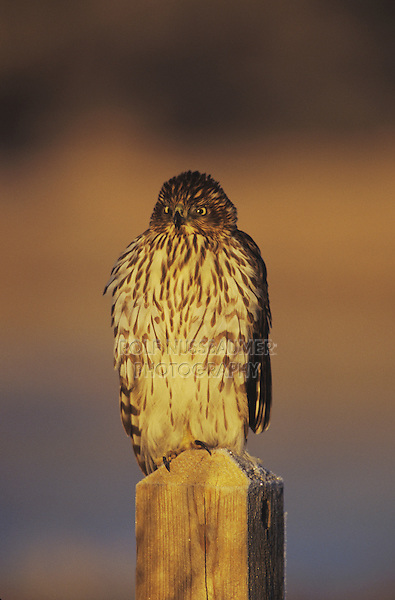 Northern Harrier (Circus cyaneus) , female perched on post, Bosque del Apache National Wildlife Refuge , New Mexico, USA,