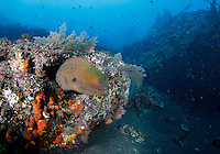 A moray eel amidst coral on the wreck of USAT Liberty, a United States Army transport ship torpedoed by a Japanese submarine January 1942. Coral growth and marine life has made Liberty's wreck a popular dive site. Corals are highly sensitive to environmental changes.