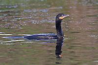 Neotropic Cormorant - Phalacrocorax brasilianus - breeding adult