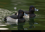 Ring-necked Ducks, Male, Drake, Franklin Canyon, Southern California