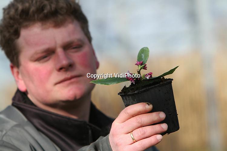 Foto: VidiPhoto..DODEWAARD - Slechts twee kwekers in Nederland hebben ze, de Daphne odora. De bladhoudende plant is daarom lastig verkrijgbaar, ondanks dat de populariteit er van toeneemt. Bij Batouwe Boomkwekerijen in Dodewaard wordt de lastig te stekken soort zelf vermeerdert. De odora staat bekend vanwege de enorm sterke geur die zij verspreidt. De Batouwe levert dit jaar 25.000 planten, maar verwacht de komende jaren een grote vraag naar de Daphne..