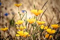 Papaveraceae (Poppies)