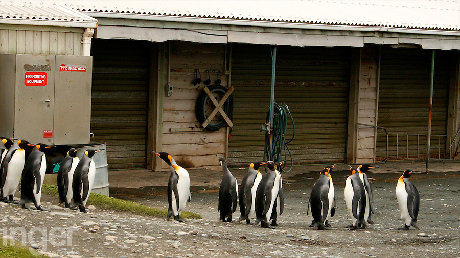 King Penguin assembly at the research station on Macquarie Island, Antarctica