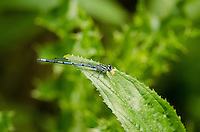 Azure Damselfly {Coenagrion puella} at Duckmanton Railway Cutting