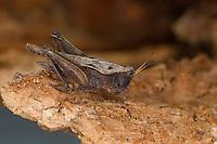 Säbel-Dornschrecke, Säbeldornschrecke, Weibchen, Dornschrecke, Tetrix subulata, Tetrix subulatum, Acrydium subulatum, Slender Ground-hopper, Slender Groundhopper, Slender Grouse Locust, female, Dornschrecken, Tetrigidae