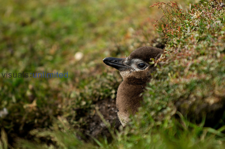 At an age of more than three weeks, Magellanic Penguin (Spheniscus magellanicus) chicks are left alone while both parents are off to the sea to fish, Falkland Islands.