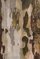 Sycamore Bark forms an interesting pattern close up.