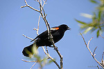 BLACKBIRD; red-winged blackbird  agelaius phoeniceus;