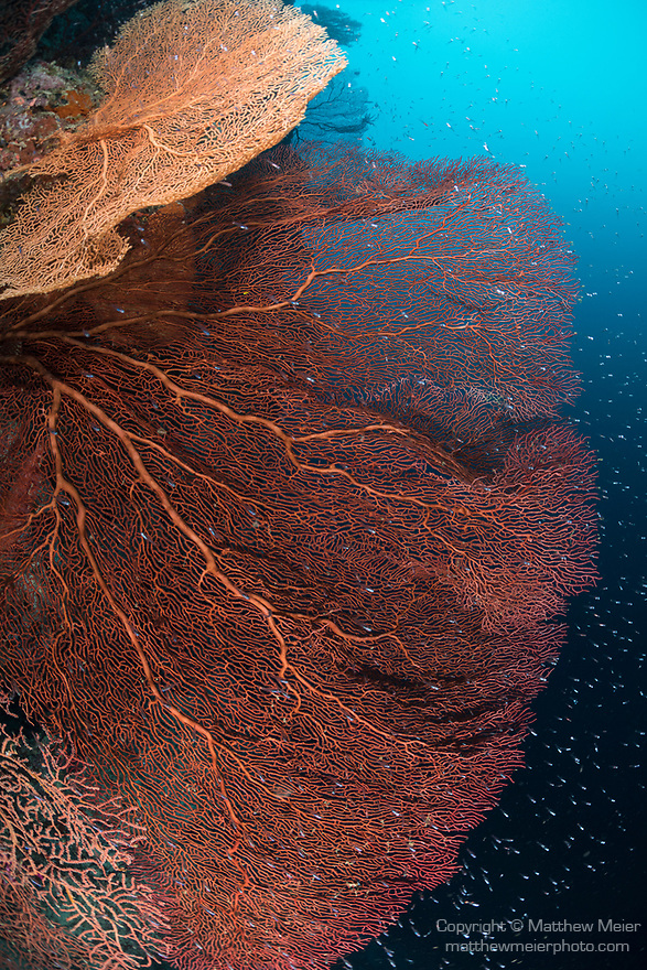 Munda, Western Province, Solomon Islands; a very large, red gorgonian sea fan growing on the side of a deep wall surrounded by a school of glassfish
