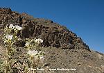 Prickly poppy, Argemone munita. Titus Canyon, Death Valley National Park, California