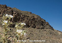 Prickly poppy, Argemone munita. Titus Canyon, Death Valley National Park, California