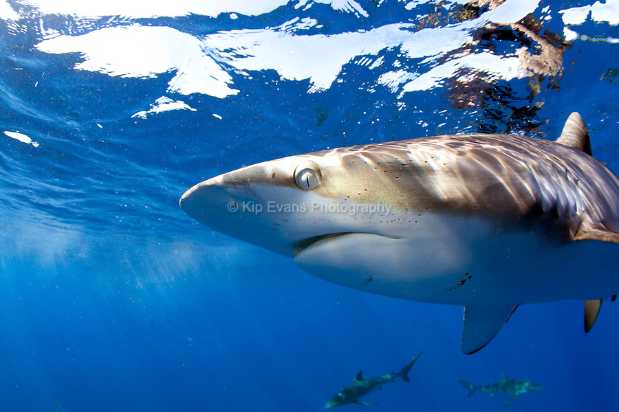 Close up of a silky shark in Cuba.