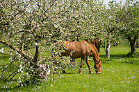 Horse in orchard with apple blossom, Vale of Evesham, Worcestershire.