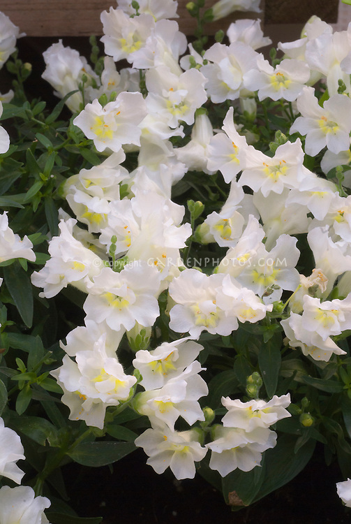 Antirrhinum 'Twinny White' annual snapdragon flowers