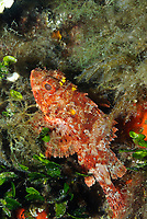 Two scorpionfish, fish, scientific name Scorpaena porcus, in the Mediterranean Sea, off Monaco coast. Usually they are solitary and sedentary. They are common among rocks and algae and they feed on small fishes (gobies, blennies), crustaceans and other invertebrates.