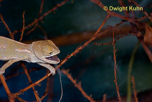 CH47-650z  Veiled Chameleon several week old young tongue flicking to catch prey, Chamaeleo calyptratus
