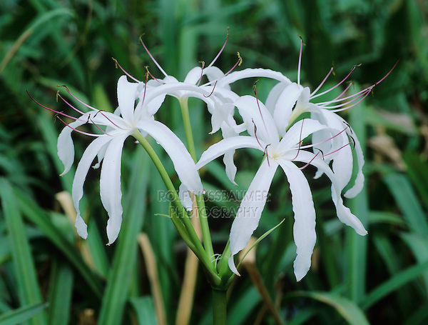 Swamp Lily, Crinum americanum, blooming, Everglades National Park, Florida, USA, Dezember 1998