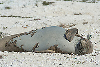 endemic Hawaiian monk seal, Neomonachus schauinslandi ( Critically Endangered Species ), resting on shore while shedding skin and fur during annual molt or molt; East Island, French Frigate Shoals, Papahanaumokuakea Marine National Monument, Northwest Hawaiian Islands, USA ( Central Pacific Ocean )