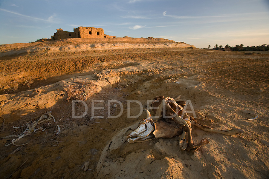 A decaying carcass of a cow and bones near an abandoned mudbrick building on the outskirts of Siwa Town in the Siwa Oasis, Egypt.