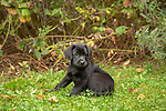 Black Labrador retriever puppy sitting in the grass.