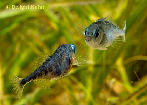 1S47-567z Threespine Stickleback, male courting gravid female with a zigzag dance, she responds with a head-up posture to display her swollen belly, Gasterosteus aculeatus