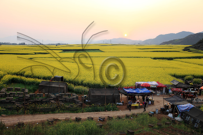 Luoping, Yunnan. Les collines du coq d'or au soleil couchant.///Luoping, Yunnan. The Hills of the Golden Rooster at sunset.