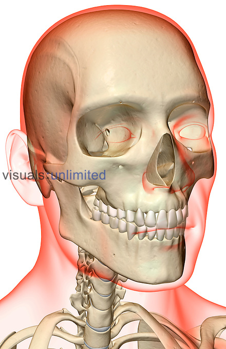 An anterolateral view (right side) of the bones of the head and neck. The surface anatomy of the body is semi-transparent and tinted red. Royalty Free