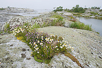 Sea mayweed (Matricaria maritima) and chives (Allium schoenoprasum).<br /> Kallsk&auml;r, Stockholm Archipelago, Sweden