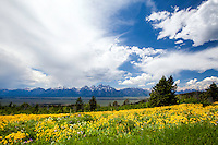 Field of balsamroot wildflowers, Shadow Mountain, Grand Tetons, Jackson Hole, Wyoming