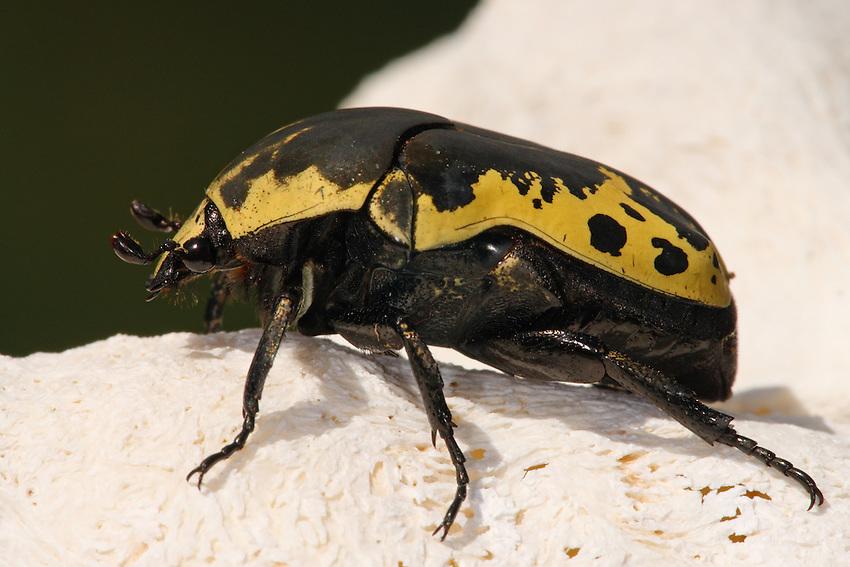 Harlequin Flower Beetle (Gymnetis caseyi)