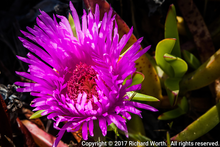 The brilliant purple flower of an ice plant tucked among its fat, succulent leaves along a trail along San Francisco Bay.