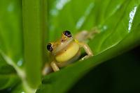 Scinax elaeochroa (male)