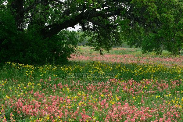 Indian Paintbrush (Castilleja miniata), Mixed wildflower field, Floresville, Texas, USA