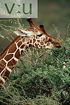 A Reticulated Giraffe browsing on an acacia tree. ,Giraffa camelopardalis reticulata, Samburu National Reserve, Kenya