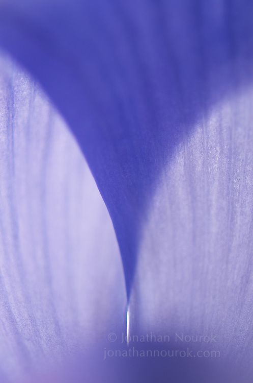 close-up of a blue iris flower