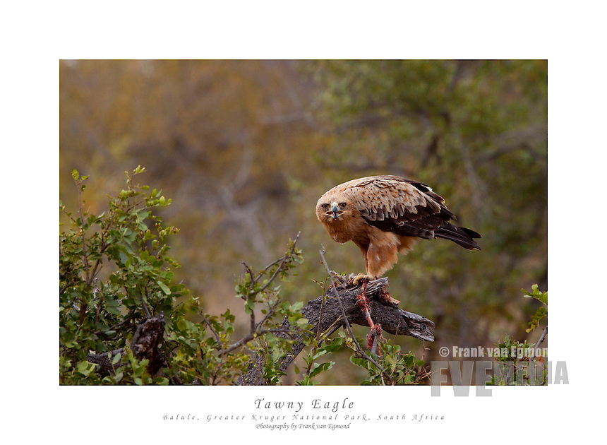 Tawny Eagle (Aquila Rapax) with a Helmeted Guineafowl as prey (Numida Meleagris)...June 2009, winter. Balule Private Nature Reserve, Greater Kruger National Park, Limpopo, South Africa