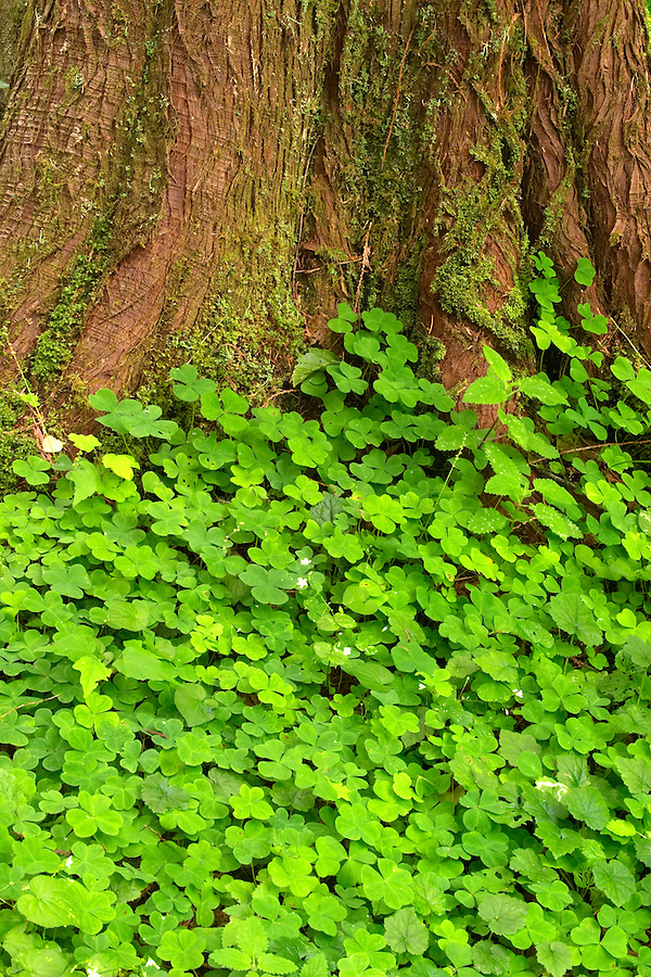 Green ground cover at base of Western Red Cedar, Maple Glade Rain Forest Trail, Quinault Rain Forest, Olympic National Park, Olympic Peninsula, Grays Harbor County, Washington, USA