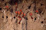 6017 001  Okavongo Cliff Dwellers (Merops nubicoides) Okavongo River, Botswana, Africa..#PRINT-6017.00