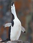 Antarctica Chinstrap penguin(s)