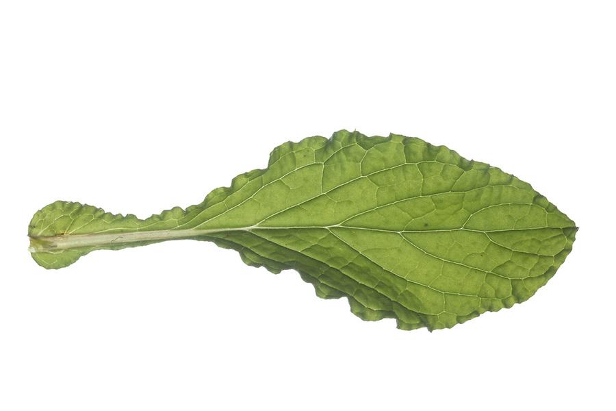Borretsch, Gurkenkraut, Kukumerkraut, Boretsch, Borago officinalis, Borage, starflower, Bourrache. Blatt, Blätter, leaf, leaves