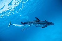 Atlantic spotted dolphin, Stenella frontalis, nursing calf, Bahamas, Caribbean Sea, Atlantic Ocean