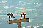 Two harris hawks at Gufyland Bird Sanctuary in Dorf Tirolo near Merano, Italy; the Gufyland Bird Sanctuary provides sanctuary to injured birds, rehabilitation, and releasing birds back into the wild while also providing educational talks to the public; the bird sanctuary has been in operation since 1989